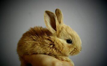 ile żyją króliki miniaturki